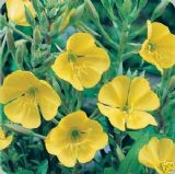 Evening Primrose 5000 seeds - FREE POST